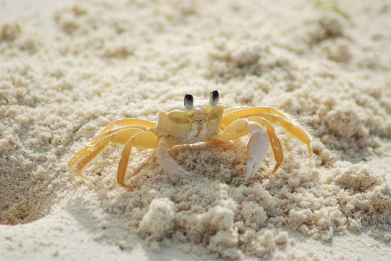 ghost crab sea treasure island florida