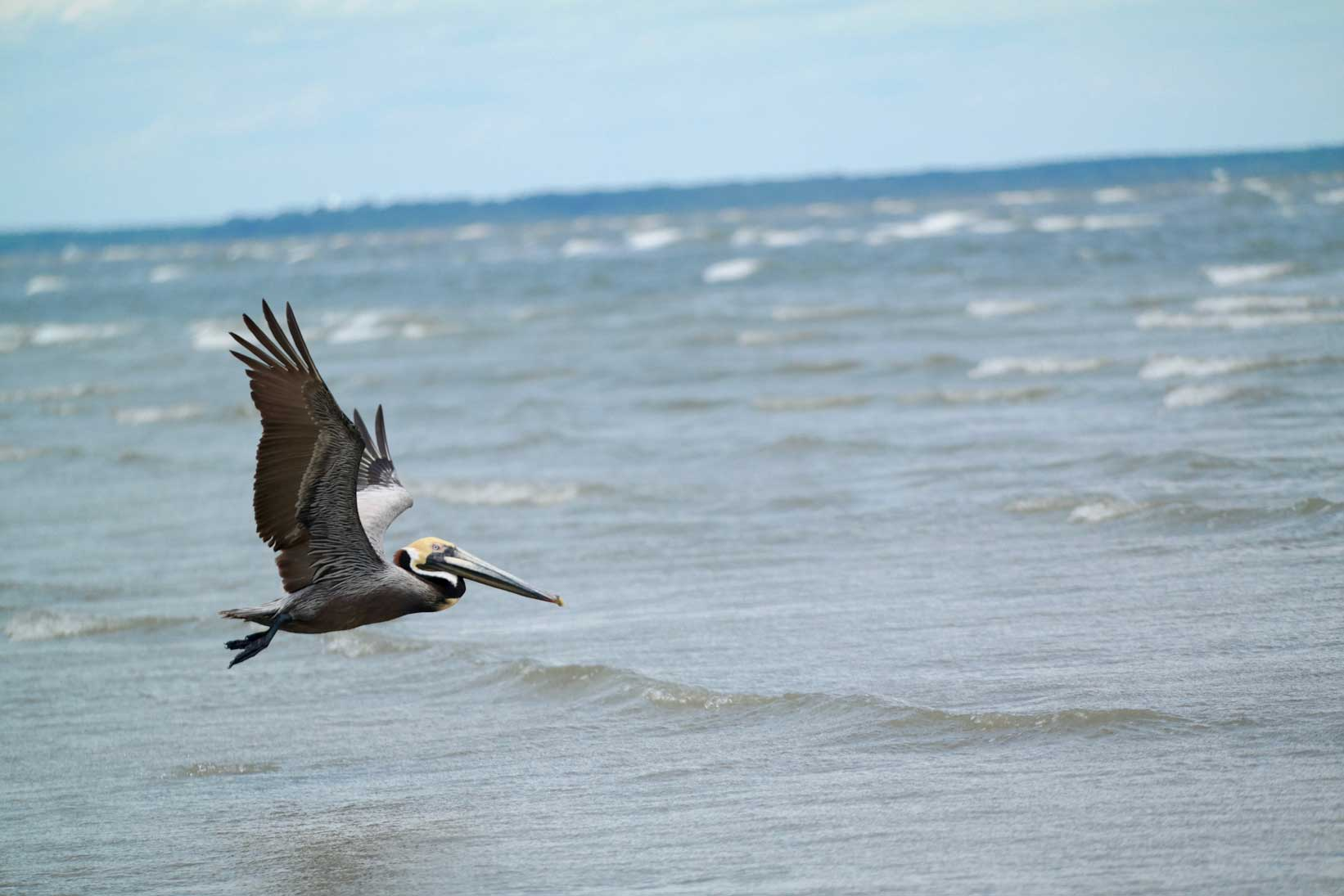 Pelican on a beach